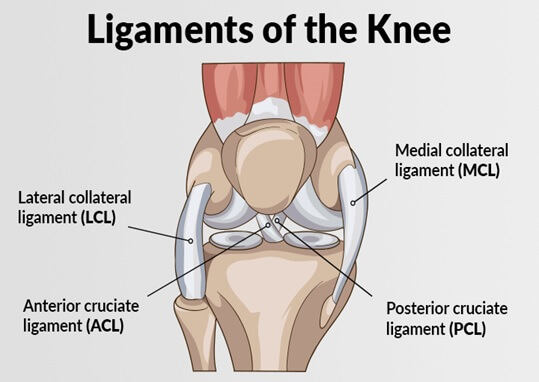 vector diagram of knee ligaments acl mcl
